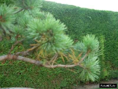 Un trio de pentaphyllas offert par ma Maman 3_1285435968